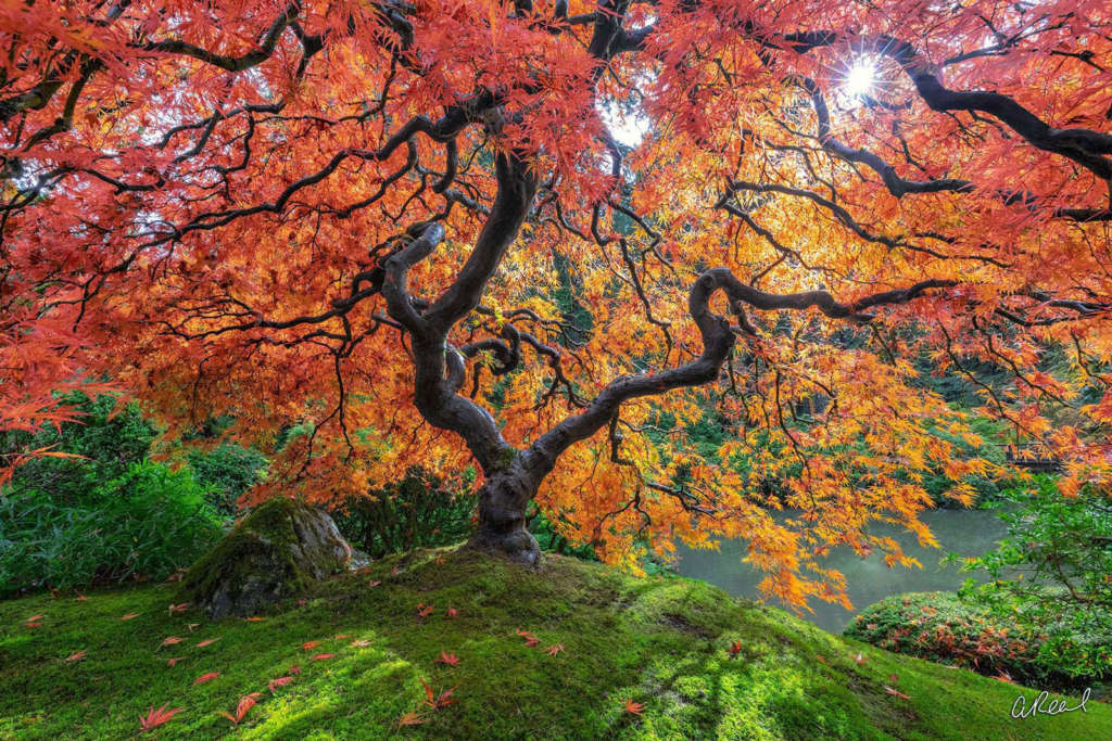 Heavens Gate Japanese Maple Tree by photographer Aaron Reed